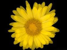 位图 植物图案 花朵 写实花卉 菊花 免费素材