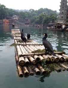 沱江鸬鹚图片