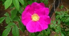 粉色玫瑰花图片