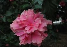 粉红色图片