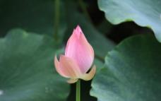 荷花花蕾图片