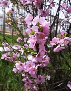 校园的榆叶梅花图片