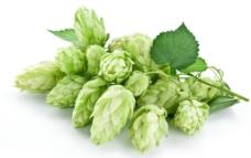 啤酒花图片