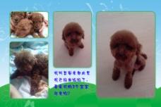 泰迪宠物相册图片