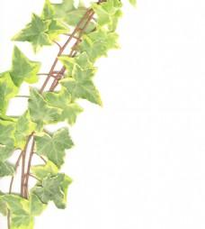 边境的绿色常春藤孤立在白色背景