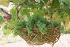绿葡萄图片