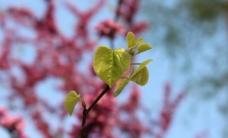 紫荆花叶图片