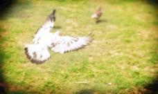 鸽子飞图片