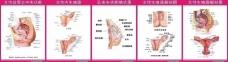 妇科解剖图图片