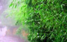 雨后翠竹图片