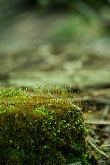 苔藓 植物图片