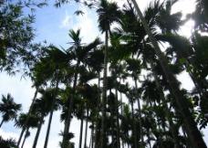 槟榔树图片