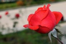 玫瑰花图片