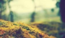 苔藓植物图片