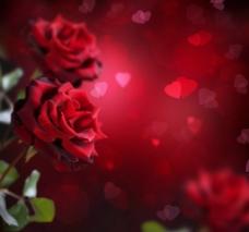 絢麗玫瑰圖片