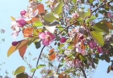 春花 海棠图片