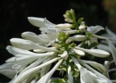玉簪花图片
