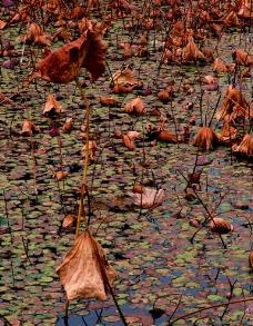 荷塘秋图片