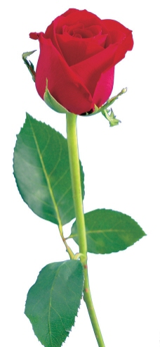 粘土制作图片玫瑰花
