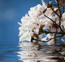 水上 白玉兰 花图片