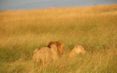 狮子夫妻图片