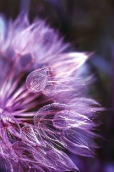 紫色的花图片
