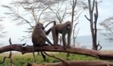 猴子夫妻图片