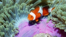 海底总动员小丑鱼