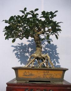 桂花盆景图片