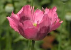 红色的罂粟花图片