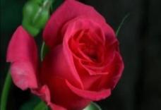动态玫瑰花开视频素图片