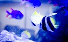 观赏鱼 燕鱼图片