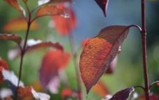 红树叶图片
