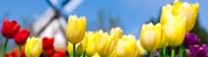 风景花朵郁金香图片