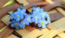 蓝色小花儿图片